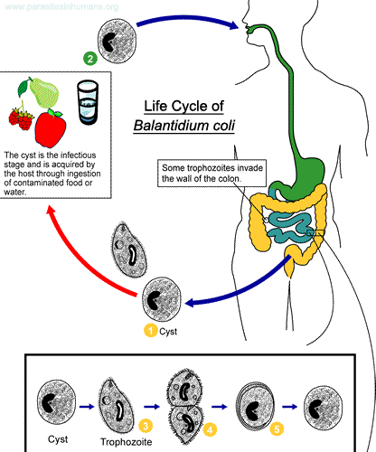 Balantidium coli life cycle