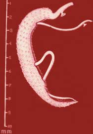 Schistosoma mansoni adult pair
